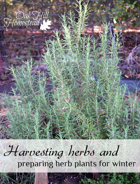 Harvesting herbs and preparing herb plants for winter. (c) Oak Hill Homestead