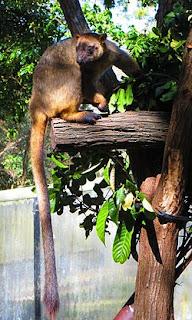 Lumholtz's Tree Kangaroo Known to Be in Australia