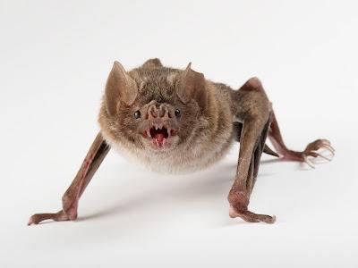 Morcego-vampiro brasileiro começa a se alimentar de sangue humano