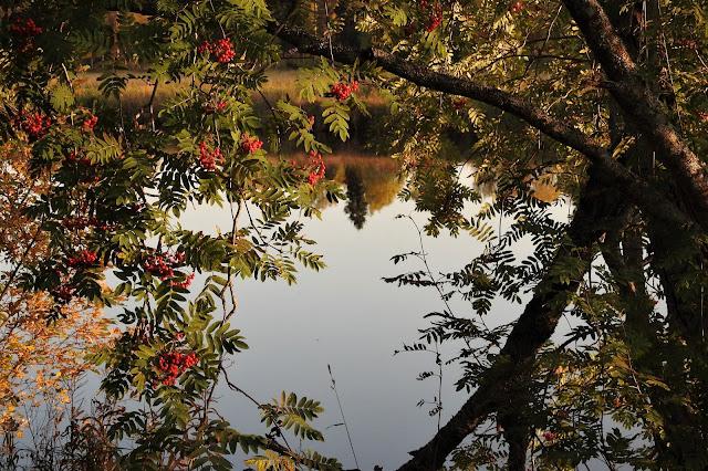 ruska, lokakuu, joki, heijaste, pihlaja, pyhäjoki