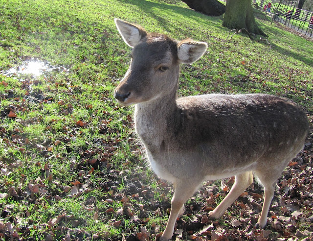 Deer, Golders, Golders Green, Heath, Hampstead Heath