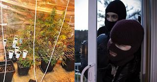 Διαρρήκτες κάρφωσαν στην Αστυνομία ότι στο σπίτι που έκλεψαν καλλιεργούνταν κάνναβη