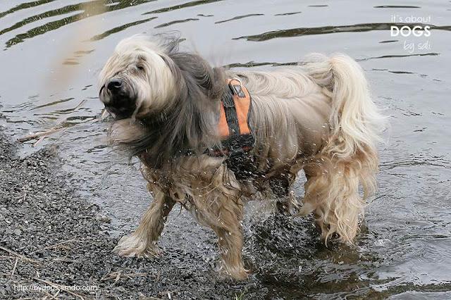 Gegendarstellung Wasser nein danke! Wasserratte Tibet Terrier Chiru