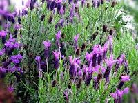 Enam Perbedaan Bunga Lavender dan Verbena