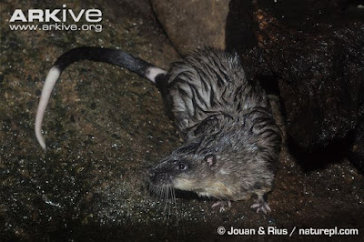 Common water Rat