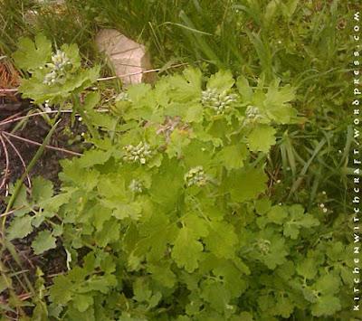 Tetterwort (chelidonium maius)