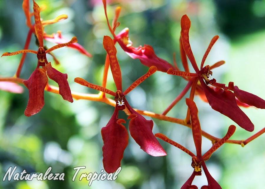 Flores de una especie de orquídea del género Renanthera