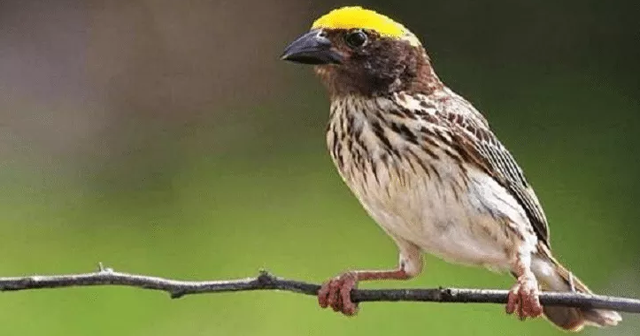 Download Bunyi Burung Manyar Mp3 Gacor Orisinil Untuk Masteran