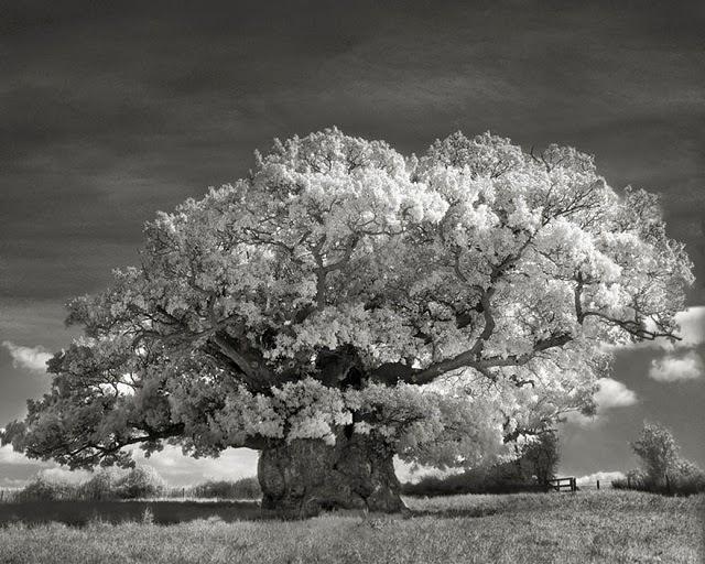 Najstarije drvo na svijetu
