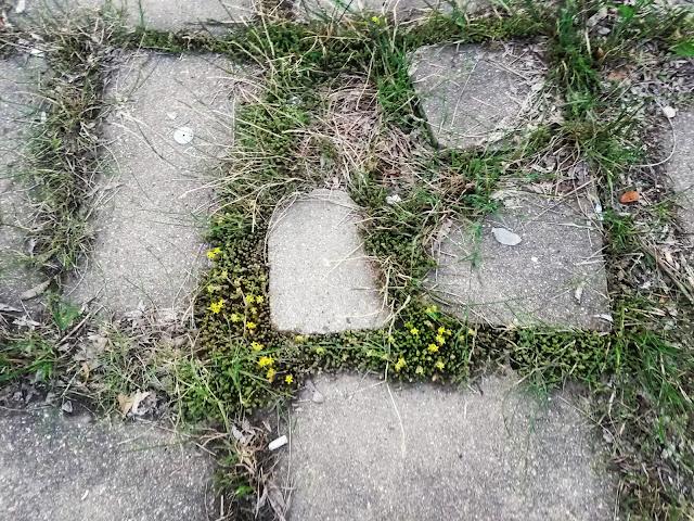 Камнеломка между плитами перед первой школой, Воскресенск. Теперь за ней никто не ухаживает, территорию у школы забрали.