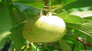 Elephant apple fruit images wallpaper