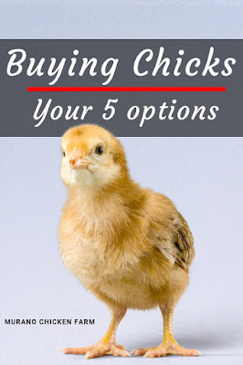 Buying chicks, where should you get them?