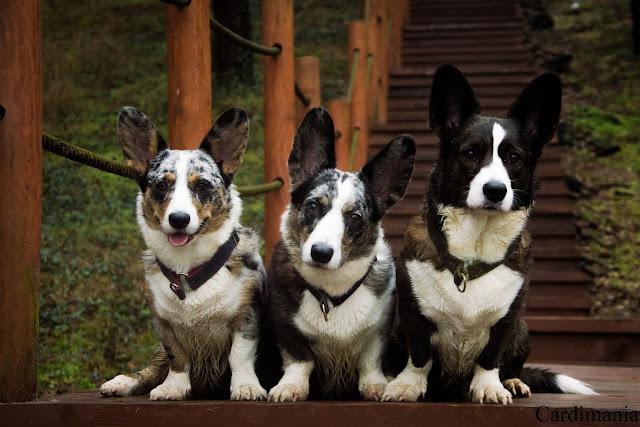 narew, zegrze, zalew zegrzyński, zalew, woda, pies w podróży, podróże z psem, z psem nad wodą, schody, yuma, biba, twiggy, corgi, welsh corgi, welsh corgi cardigan, cardigan
