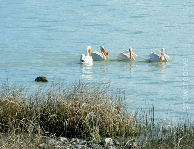 Pelicans at Utah Lake: growcreativeblog