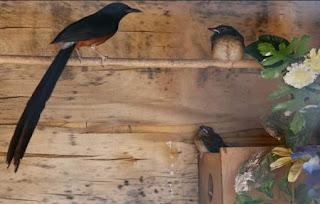 Burung Murai Batu - Suplai Makanan yang Harus Diberikan Untuk Burung Murai Batu Saat Penangkaran - Penangkaran Burung Murai Batu