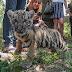 Kis tigris született a debreceni állatkertben
