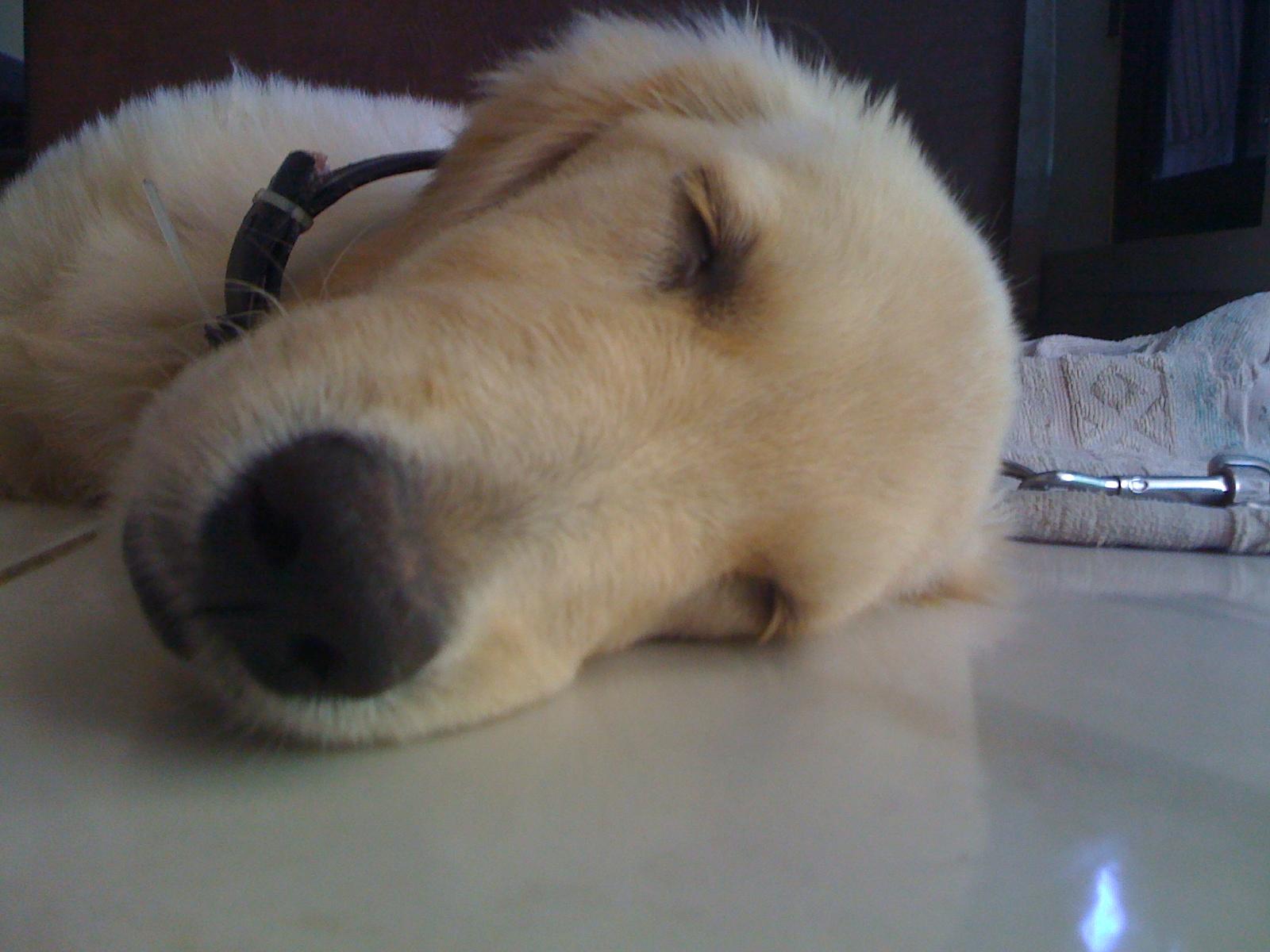 Kamus Anjing Golden Retriever
