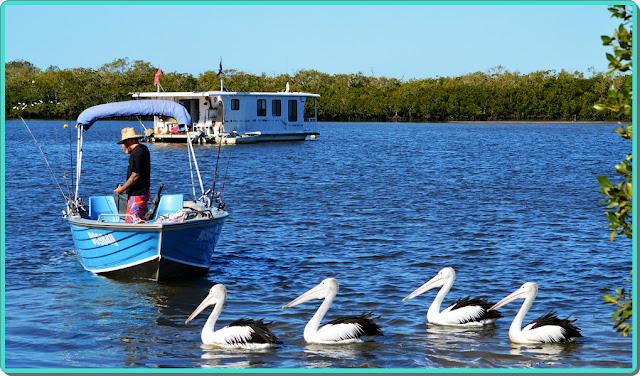 river pelican