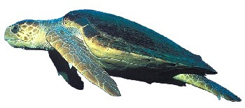 Tartaruga do Mar (Caretta caretta)