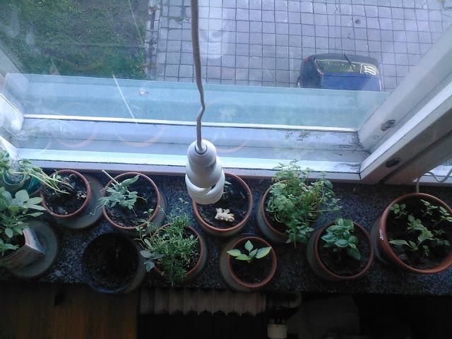 yrttejä ikkunalaudalle talvella
