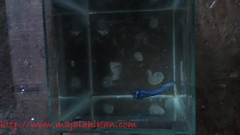 Gambar Ikan Cupang Dragon Sakit Kutil Di Kepala-Penyakit Ikan Cupang Yang Tidak Bisa Diobati