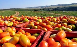 Safra de tomate