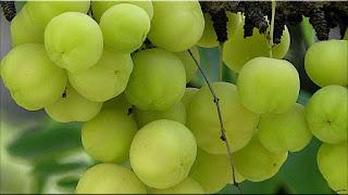 gambar buah malaka