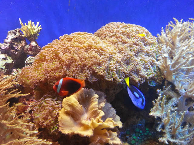 Clownfish and Blue Tang at Bristol Aquarium