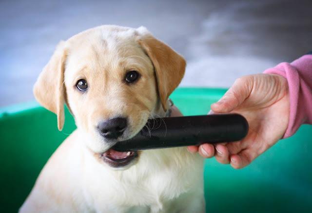 Best Lab Puppy Toy The Goughnut Stick
