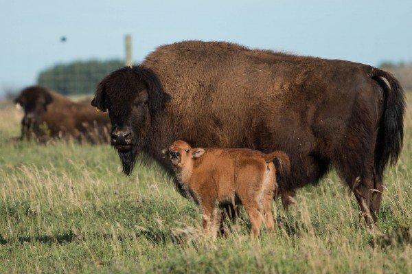 Rare wood bison calves born through IVF