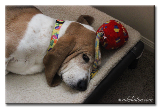Basset Hound with toy on his head