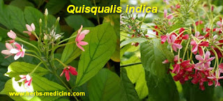 Headache remedies use Quisqualis Indica