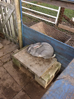 A large grey rabbit