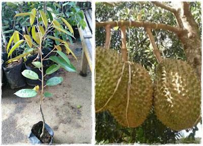 bibit durian petruk | durian petruk unggul | budidaya durian petruk | cara menanam durian petruk | durian petruk asal jepara