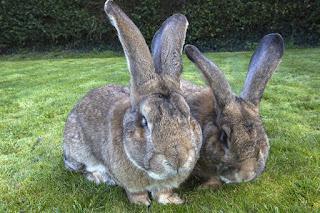 foto kelinci terbesar di dunia