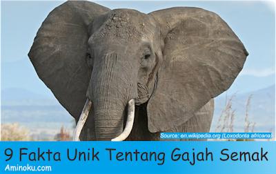 Fakta unik gajah semak afrika
