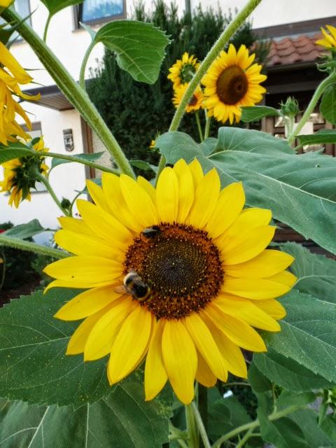 Dies Und Das Vom Neckarstrand Sonnenblumen