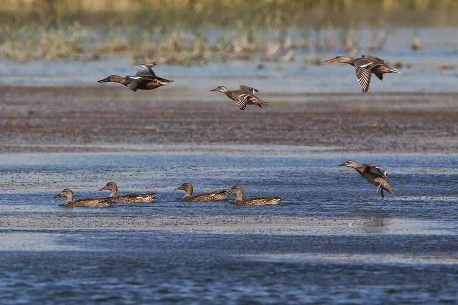 Gadwall, Northern Shoveller & Garganey