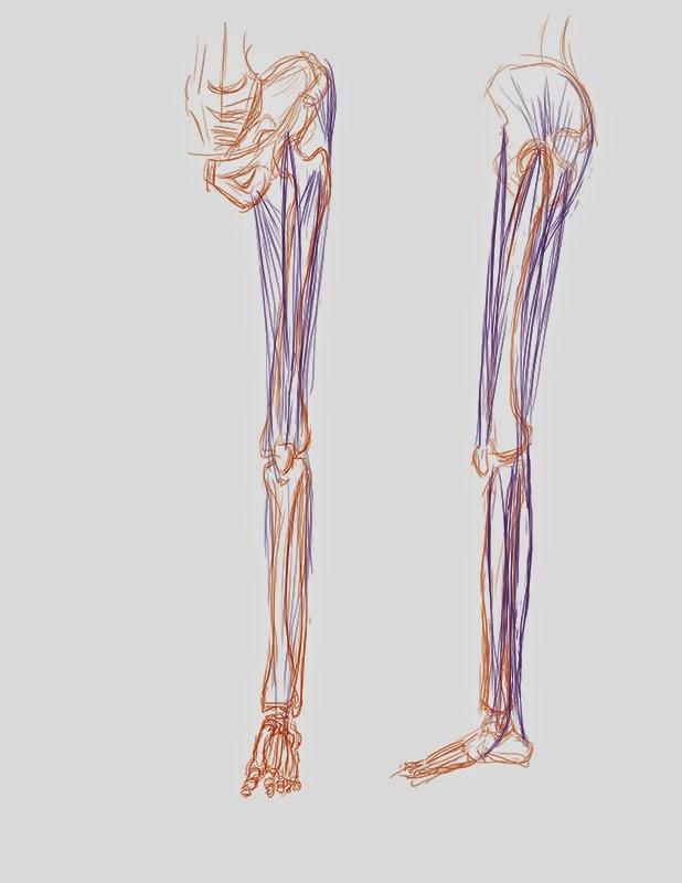 leg muscles drawing - photo #24