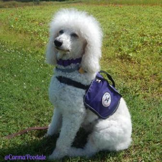 White poodle in purple vest, Carma Poodale, medical alert service dog