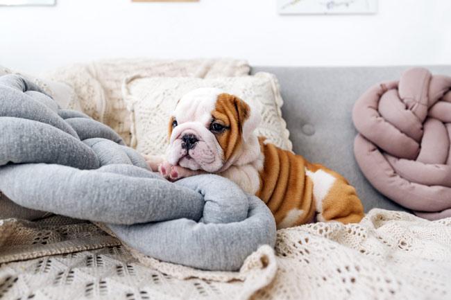 Jak pozbyć się zapachu psa z kanapy i dywanu?