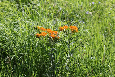 butterfly flower (Asclepias tuberosa)