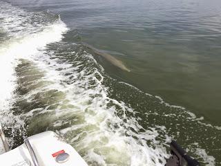 Porpoise in Apalachicola