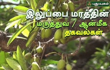 Iluppai Tree Benefits | Arivom Arogyam