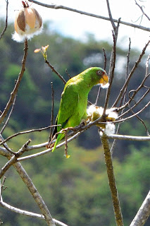 White-fronted Parrot in Poroporo Tree