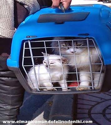 gato-viajar-mudanza-veterinario