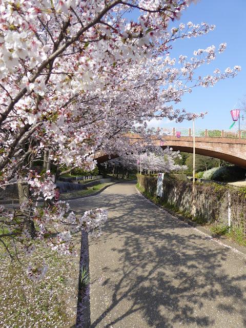 春爛漫・寝屋川公園の桜・お花見ウォーキング!