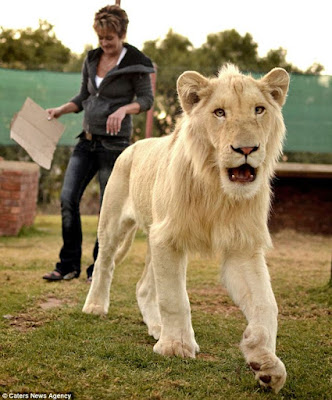 Sư tử Ả rập