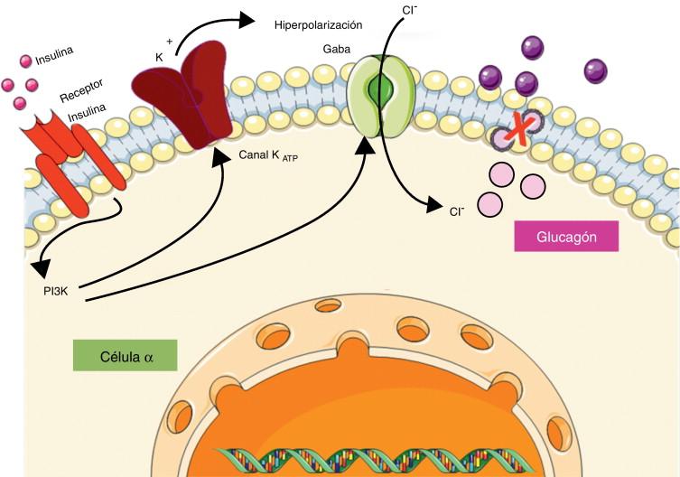 Bioregulación del metabolismo: Glucagón