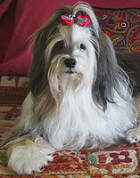 Cute Tibetan Terrier Dog